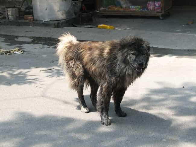 Nguồn gốc chó Bắc Hà