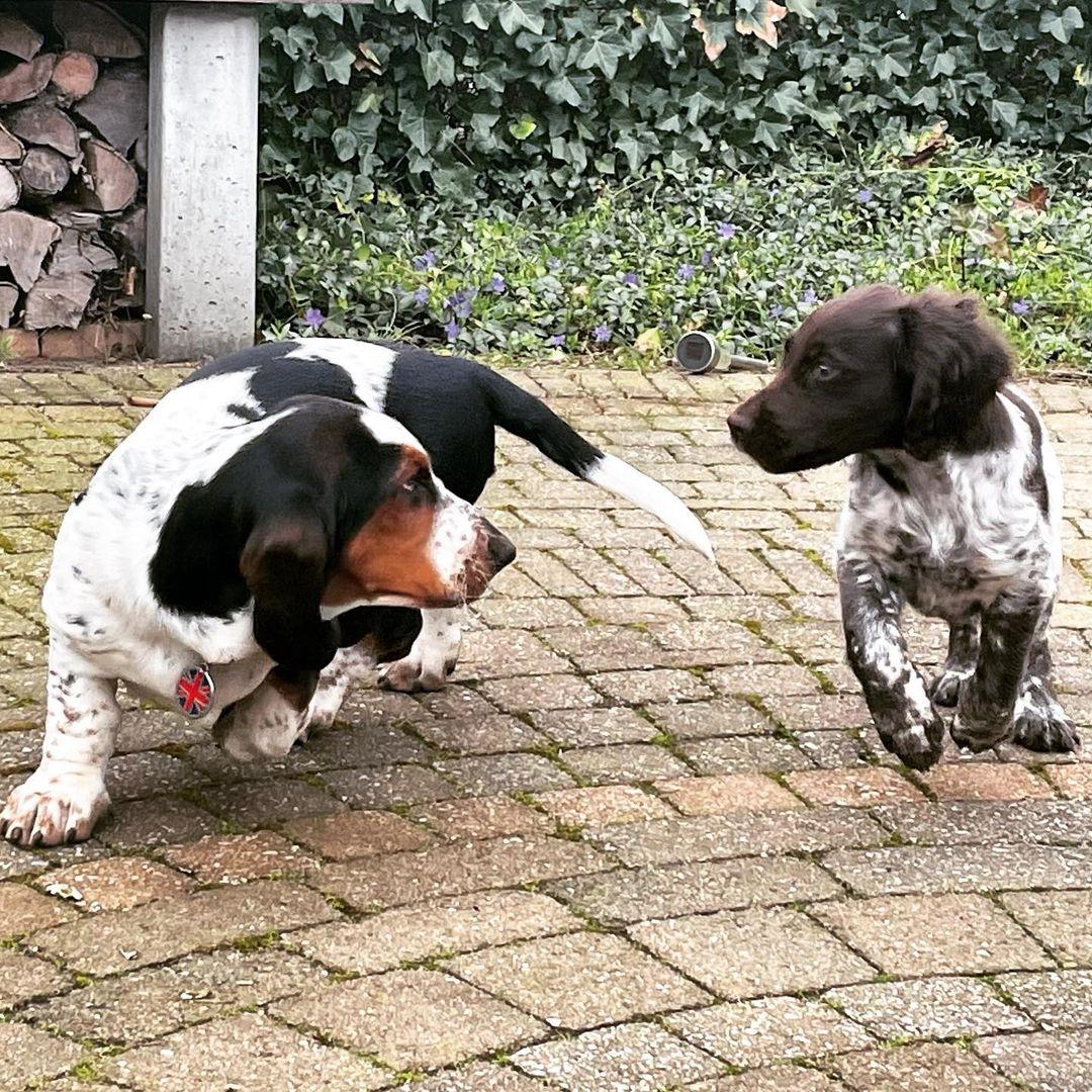 Chó Basset Hound giống chó săn chân lùn
