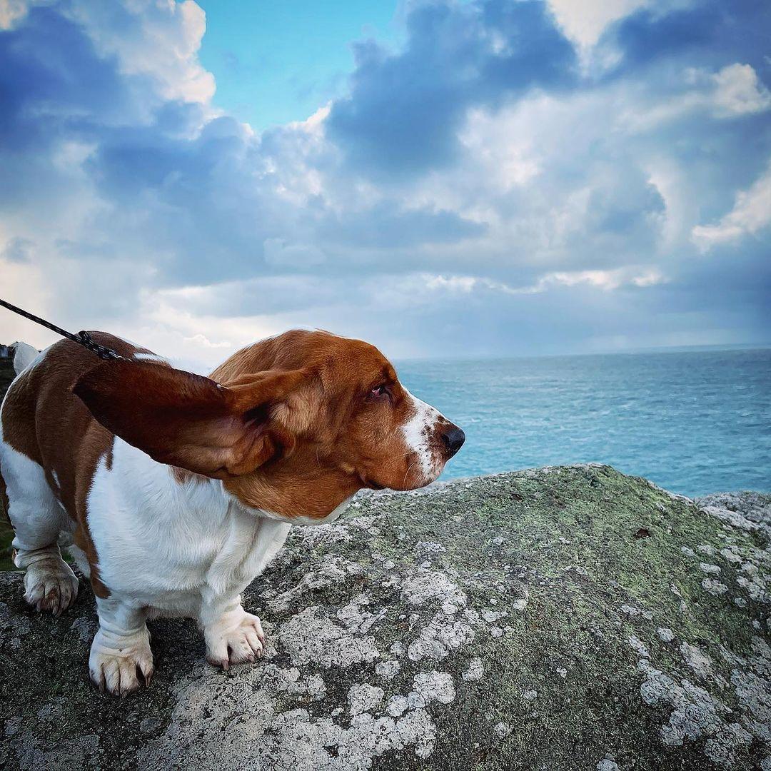 Lau chùi mắt và tai của chó Basset Hound