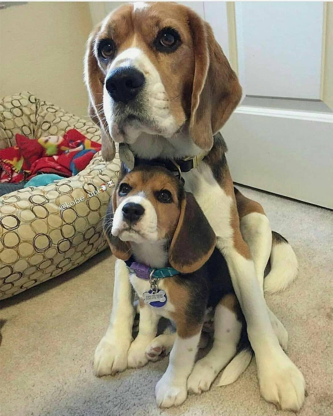 anh cho beagle 1