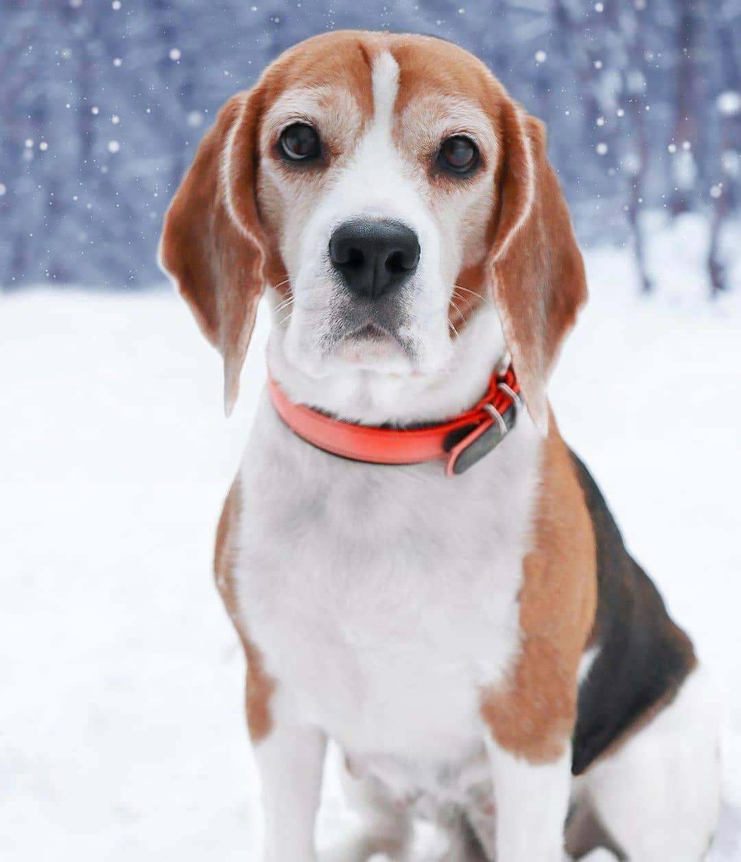 anh cho beagle 14