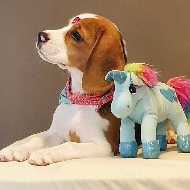 anh cho beagle 16