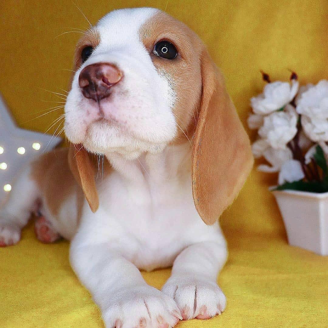anh cho beagle 21