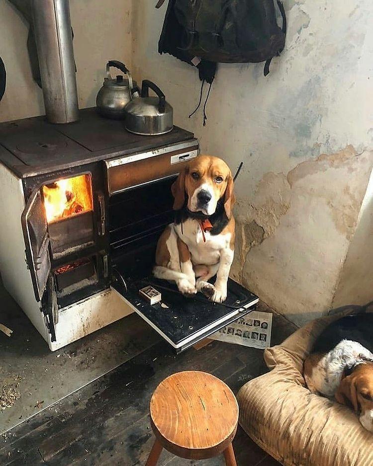 anh cho beagle 22