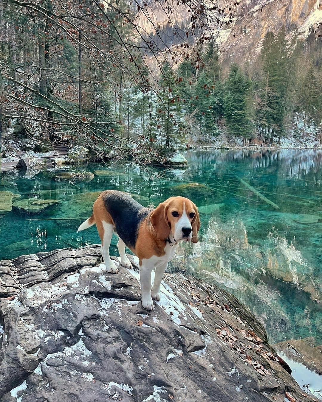anh cho beagle 24