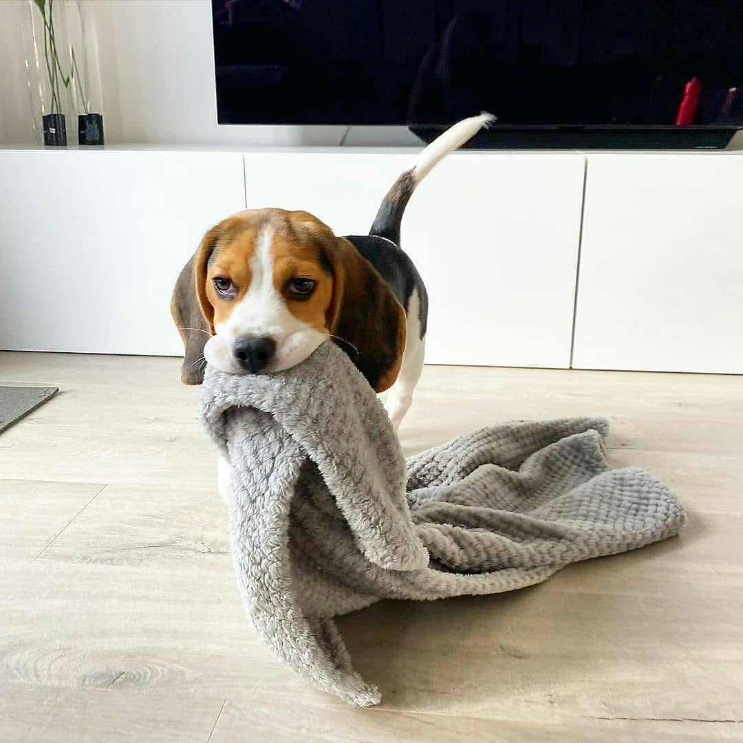 anh cho beagle 27