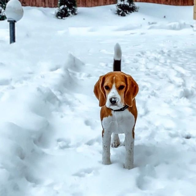 anh cho beagle 29