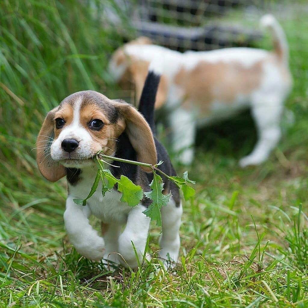 anh cho beagle 35