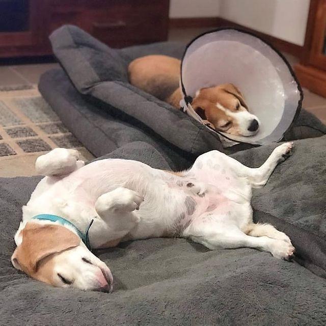 anh cho beagle 41