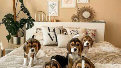 anh cho beagle 49