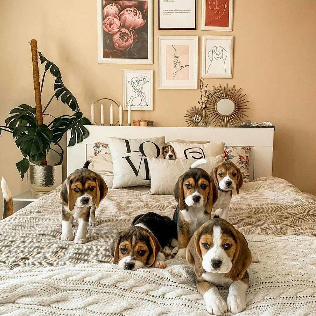 vệ sinh cho Beagle