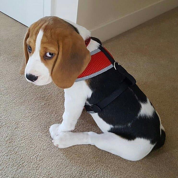 anh cho beagle 5