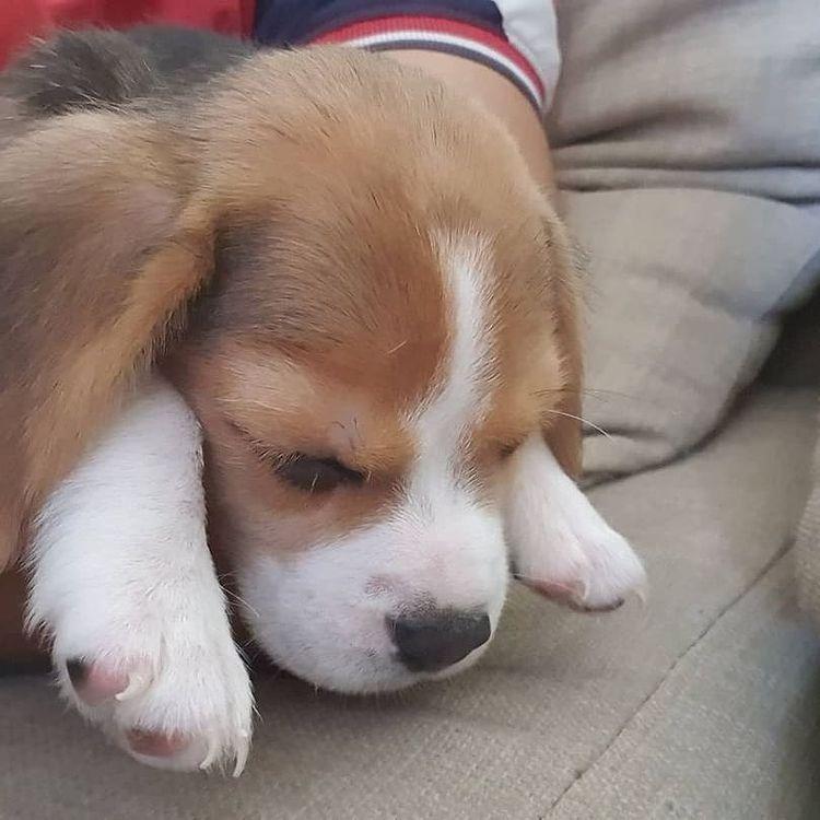 anh cho beagle 54