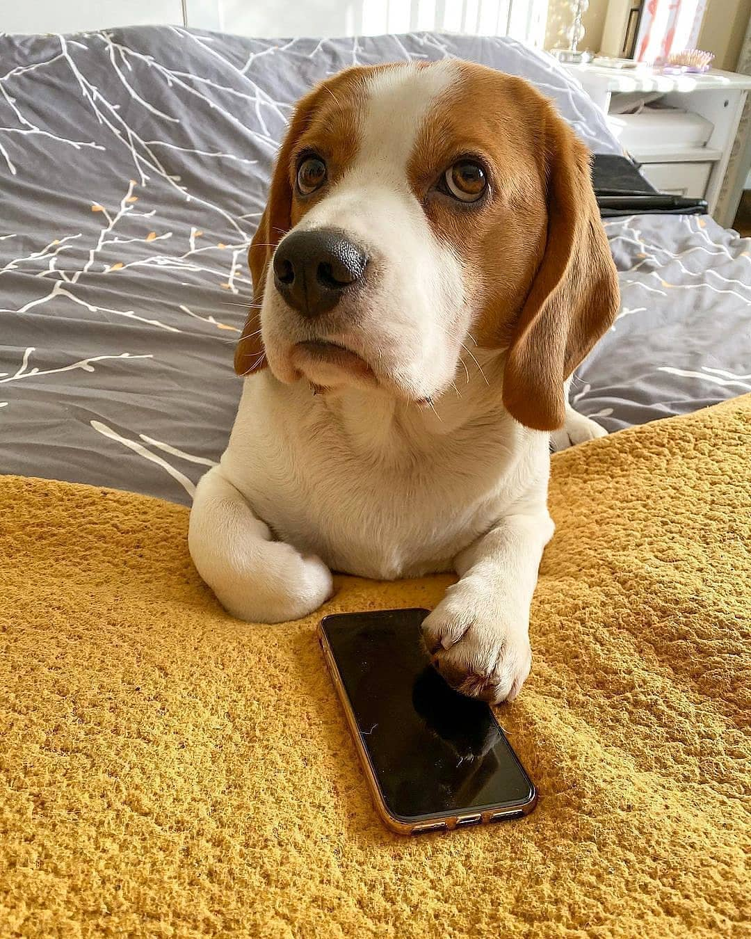 anh cho beagle 56