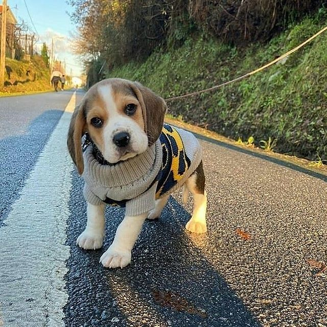anh cho beagle 57