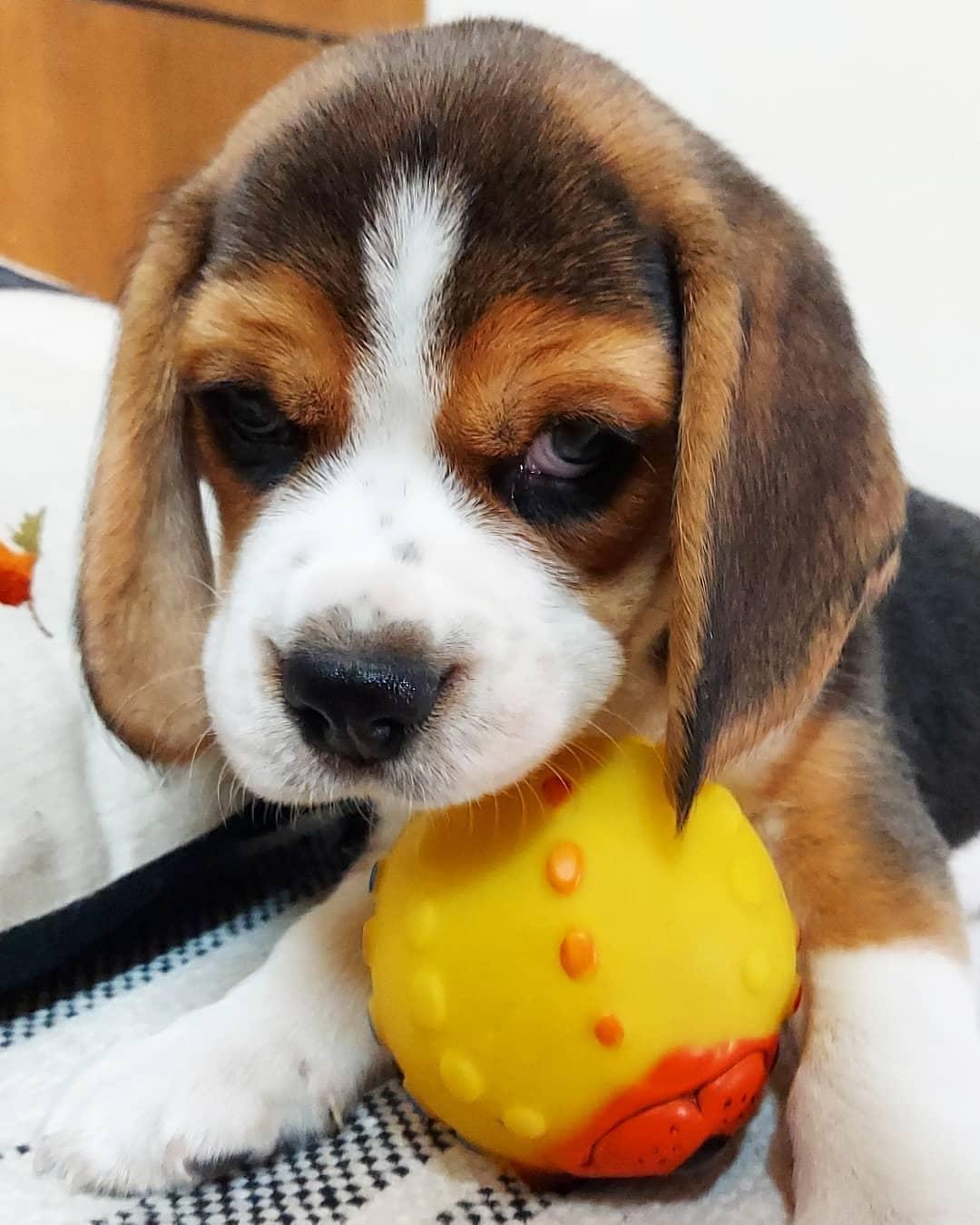 anh cho beagle 60