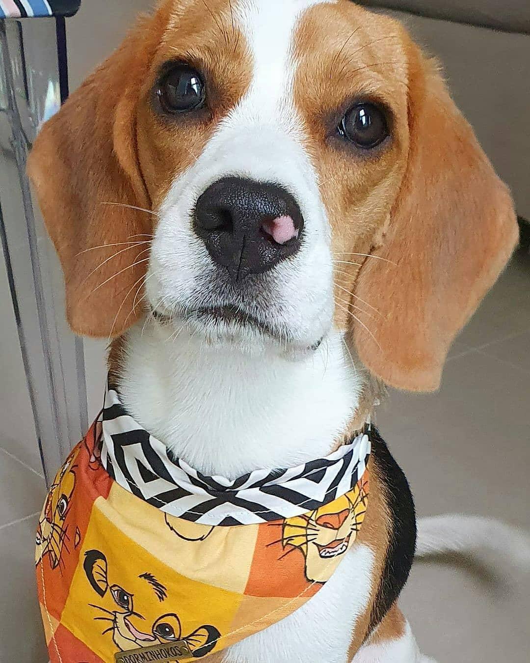 anh cho beagle 61