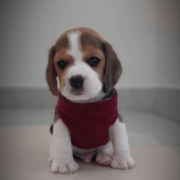 anh cho beagle 66