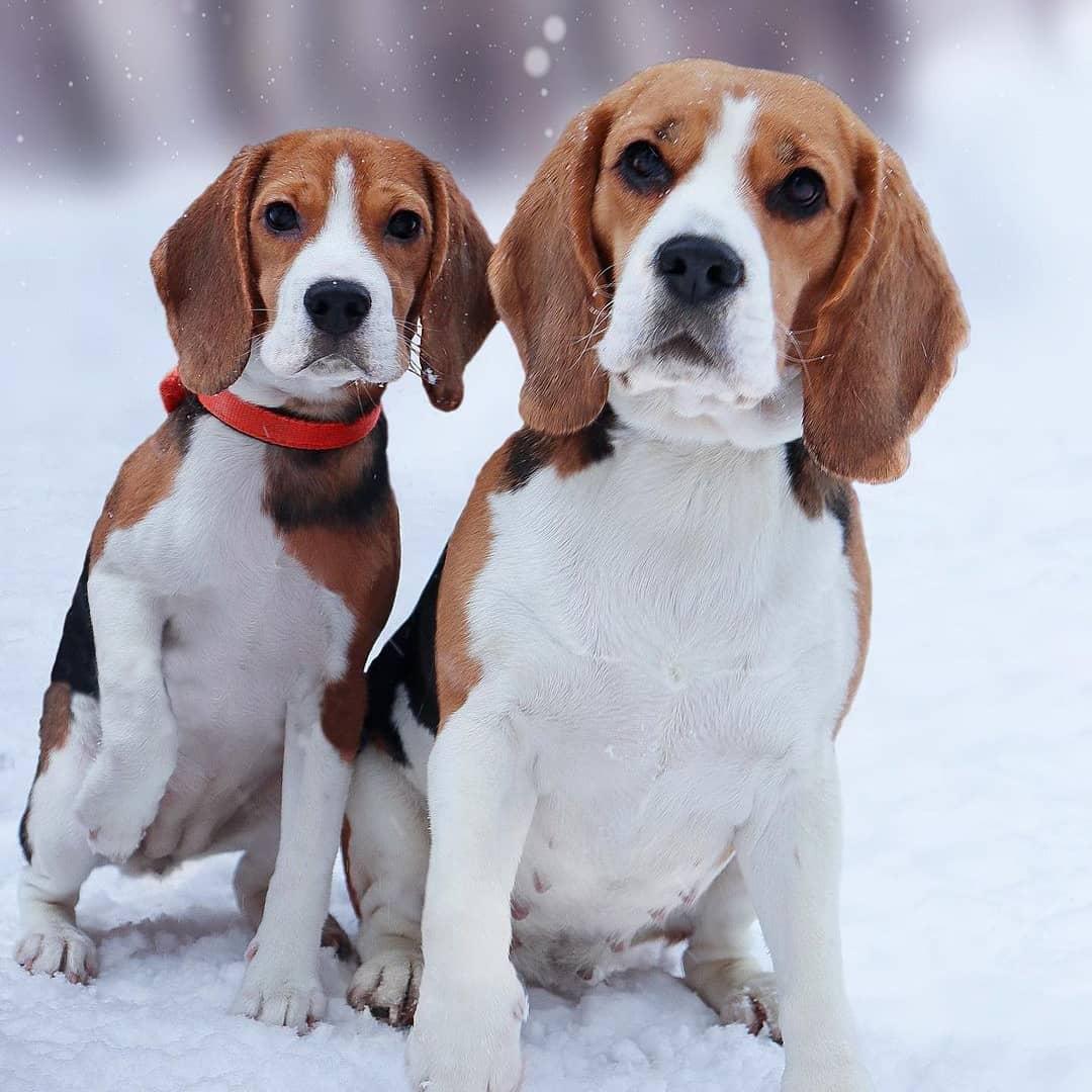 anh cho beagle 68