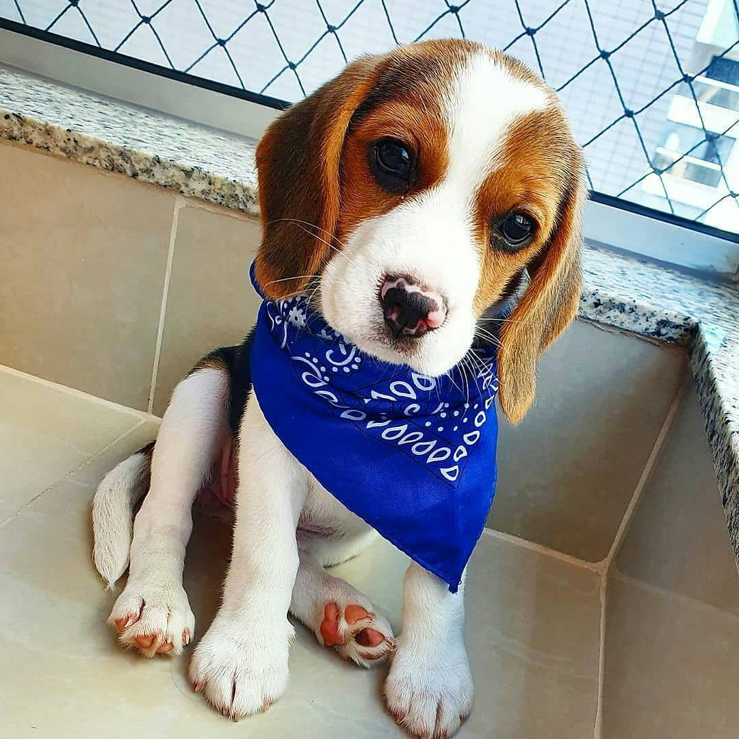 anh cho beagle 7