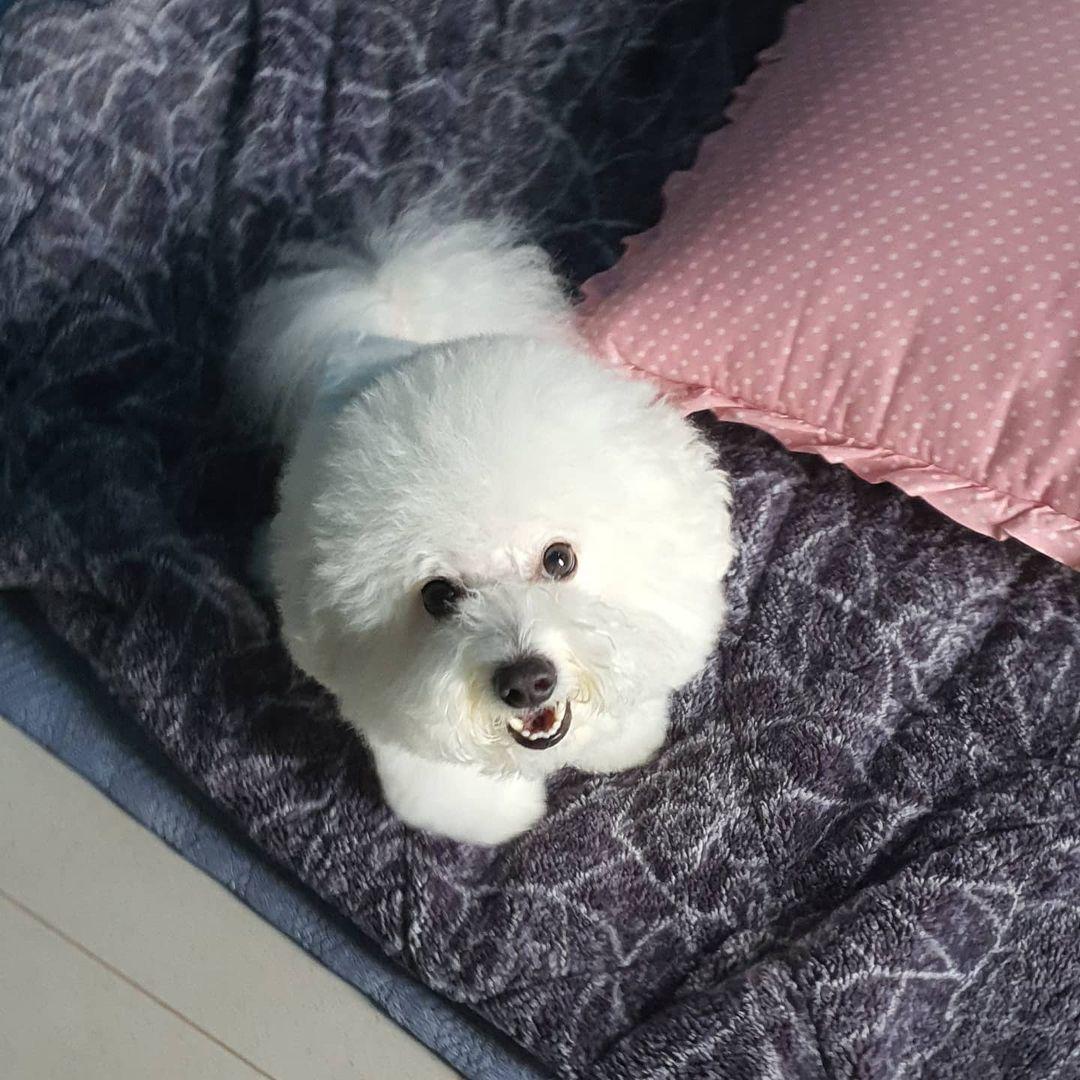 Chó Bichon Frise bị ký sinh trùng