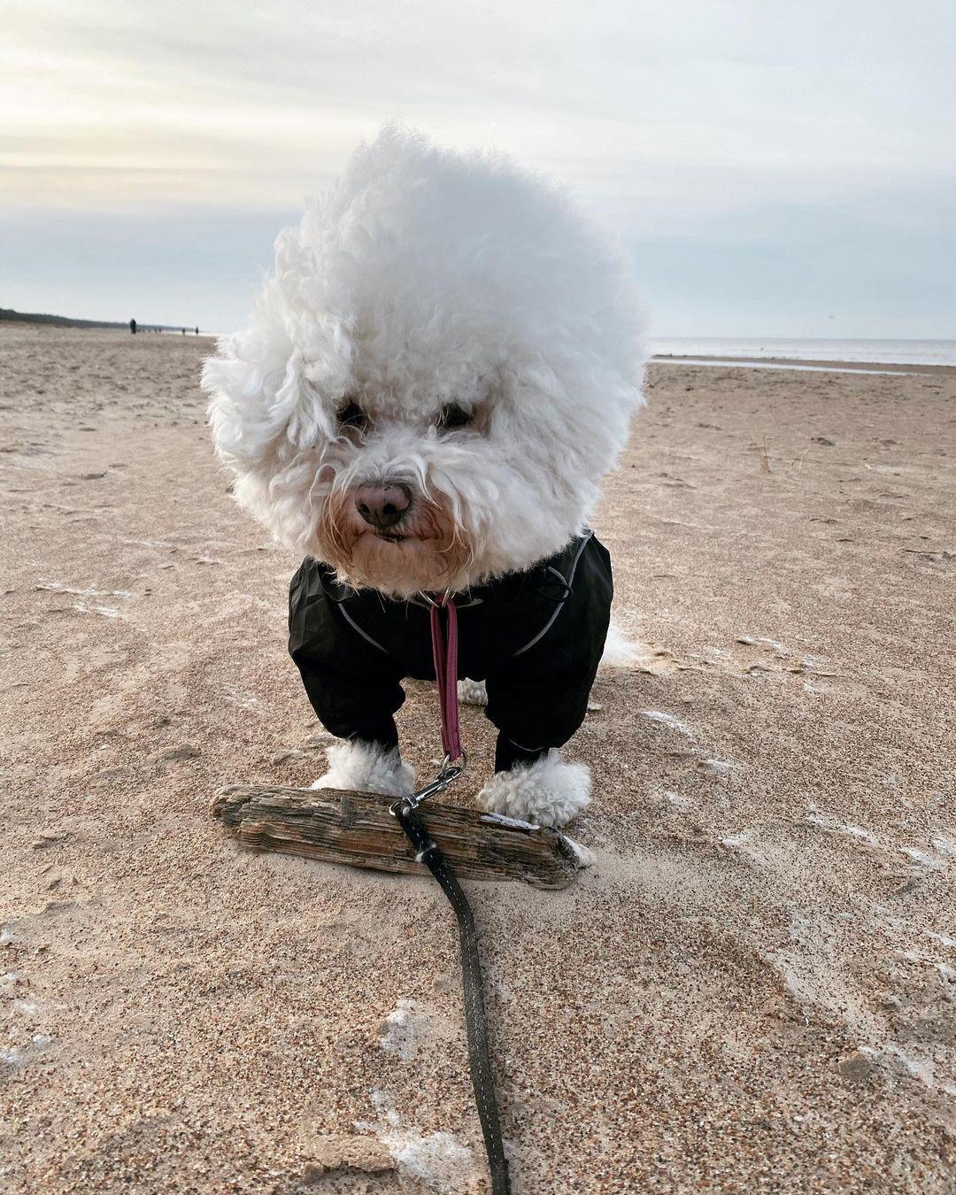 Vệ sinh cho Bichon Frise giúp chó luôn khỏe mạnh