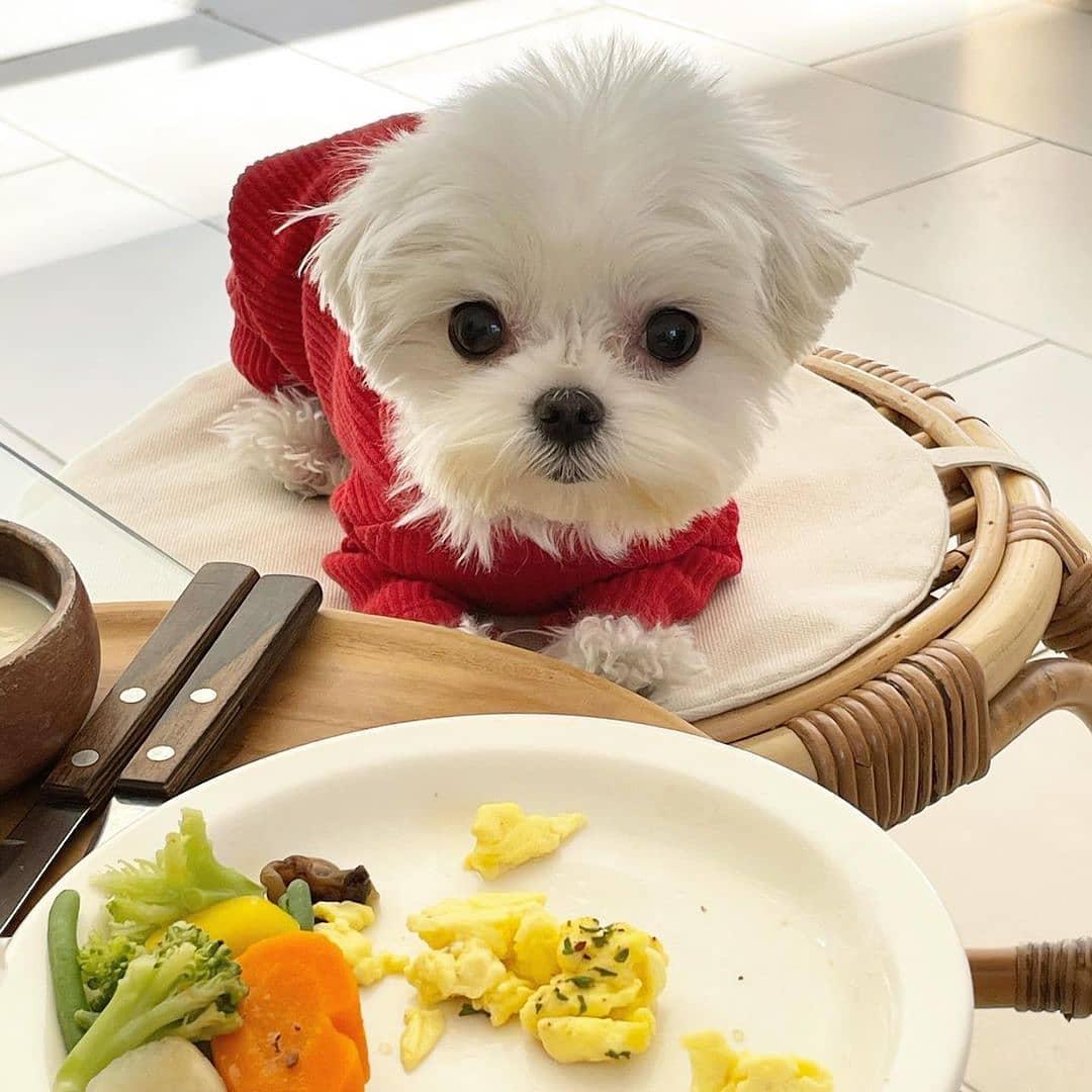 Thay đổi thực phẩm cho chó Bichon Frise