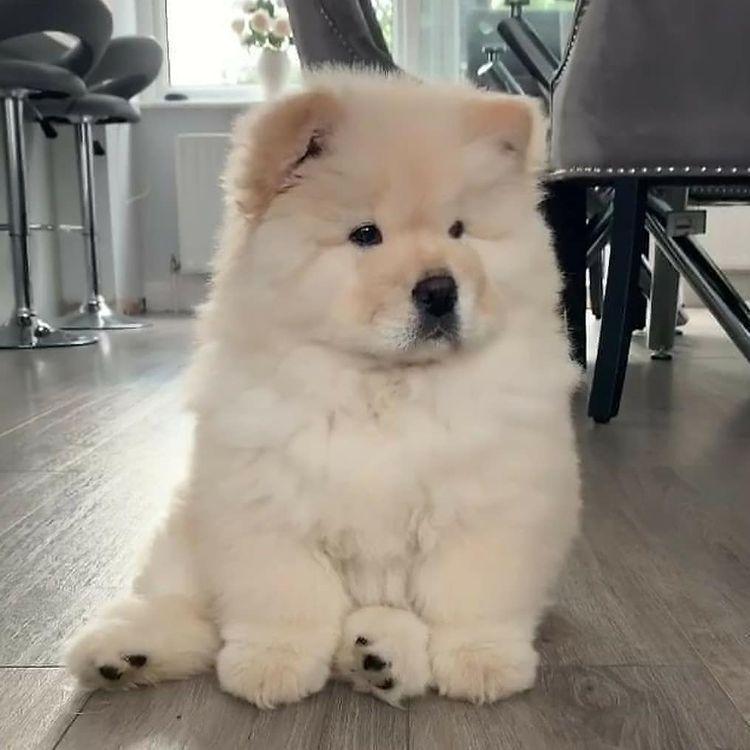 Chó Chow chow lai Husky