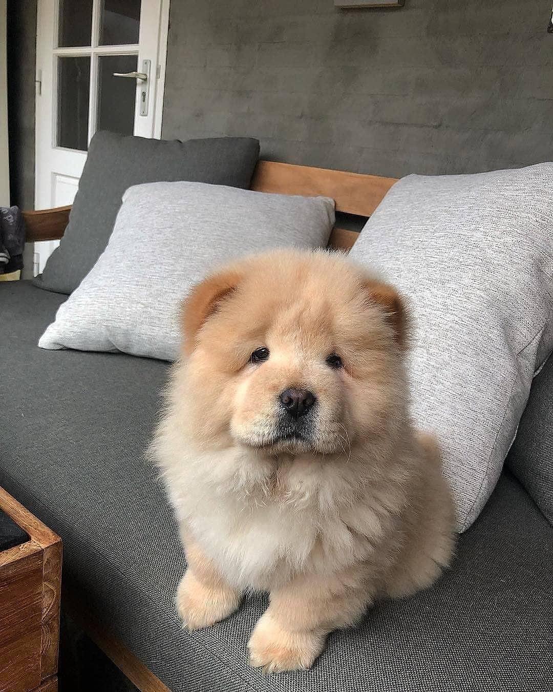 Dinh dưỡng cho chó Chow Chow từ 3-6 tháng tuổi