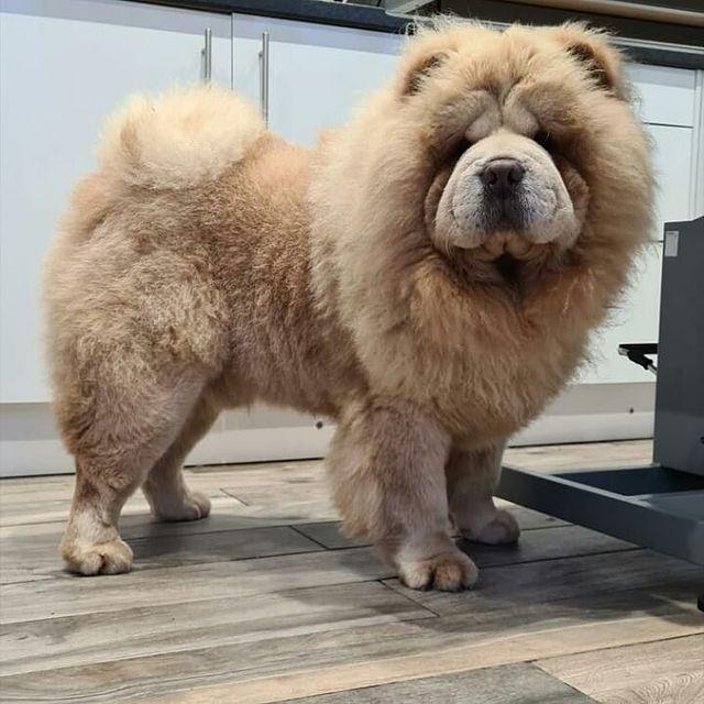 Chó Chow Chow giá bao nhiêu?