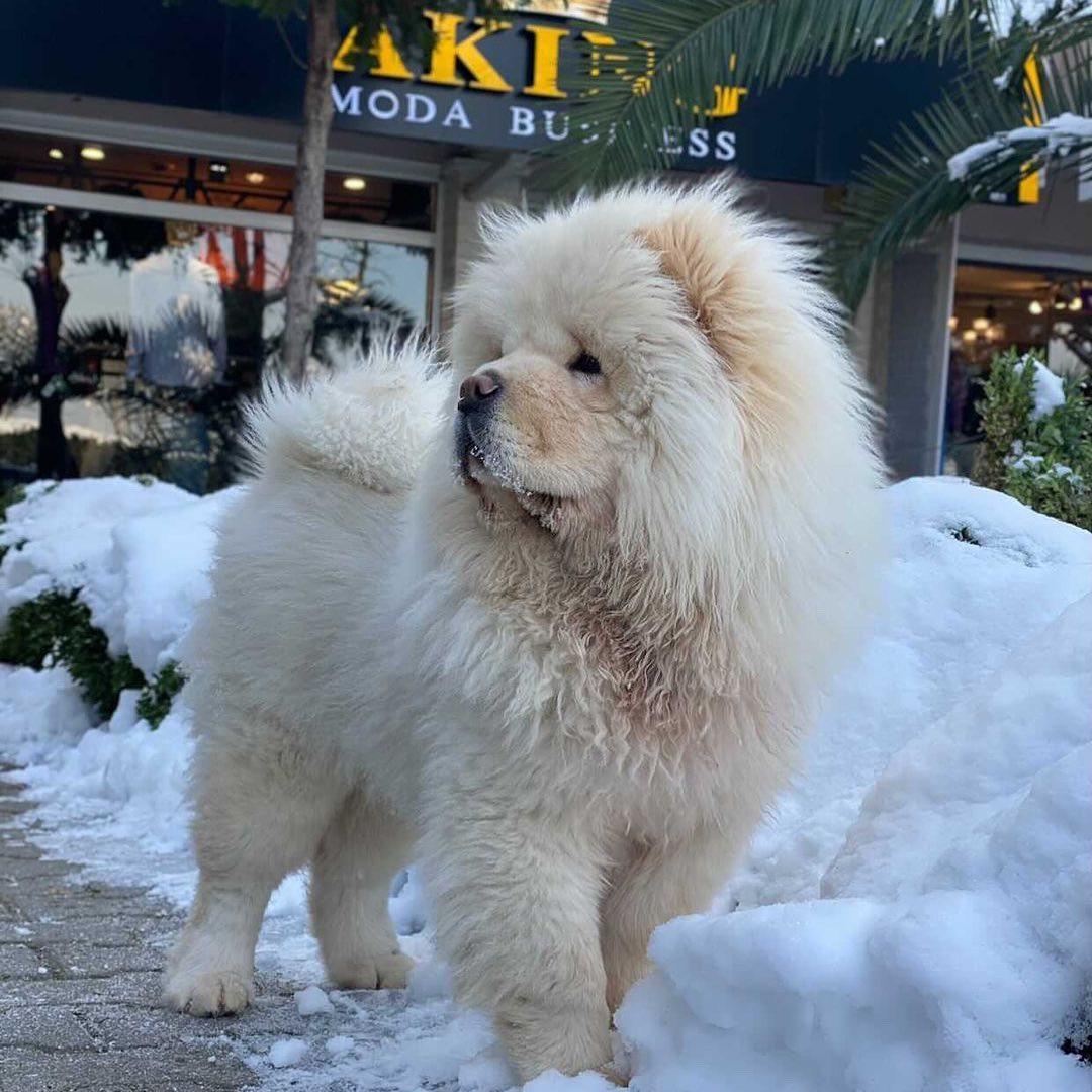 Tìm mua chó Chow Chow giá rẻ từ các nguồn tin cậy