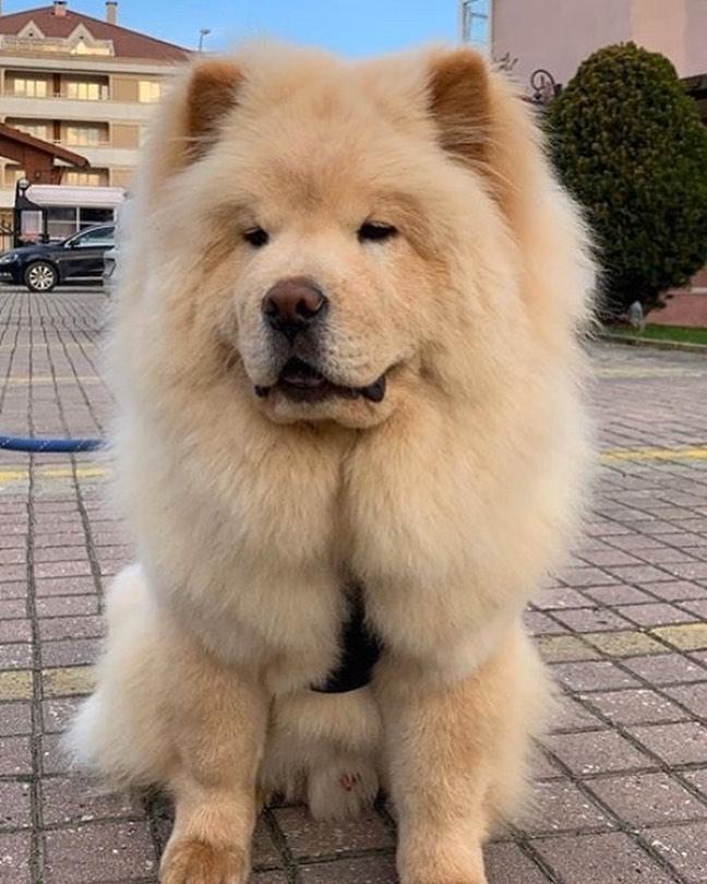 Chăm sóc lông cho chó Chow Chow