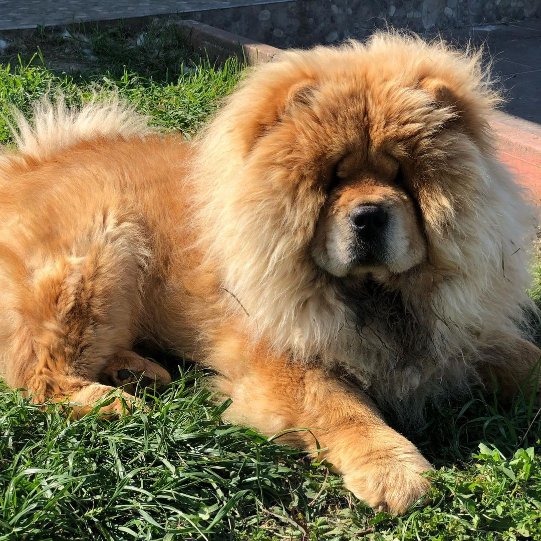Vệ sinh lông cho chó Chow Chow thường xuyên
