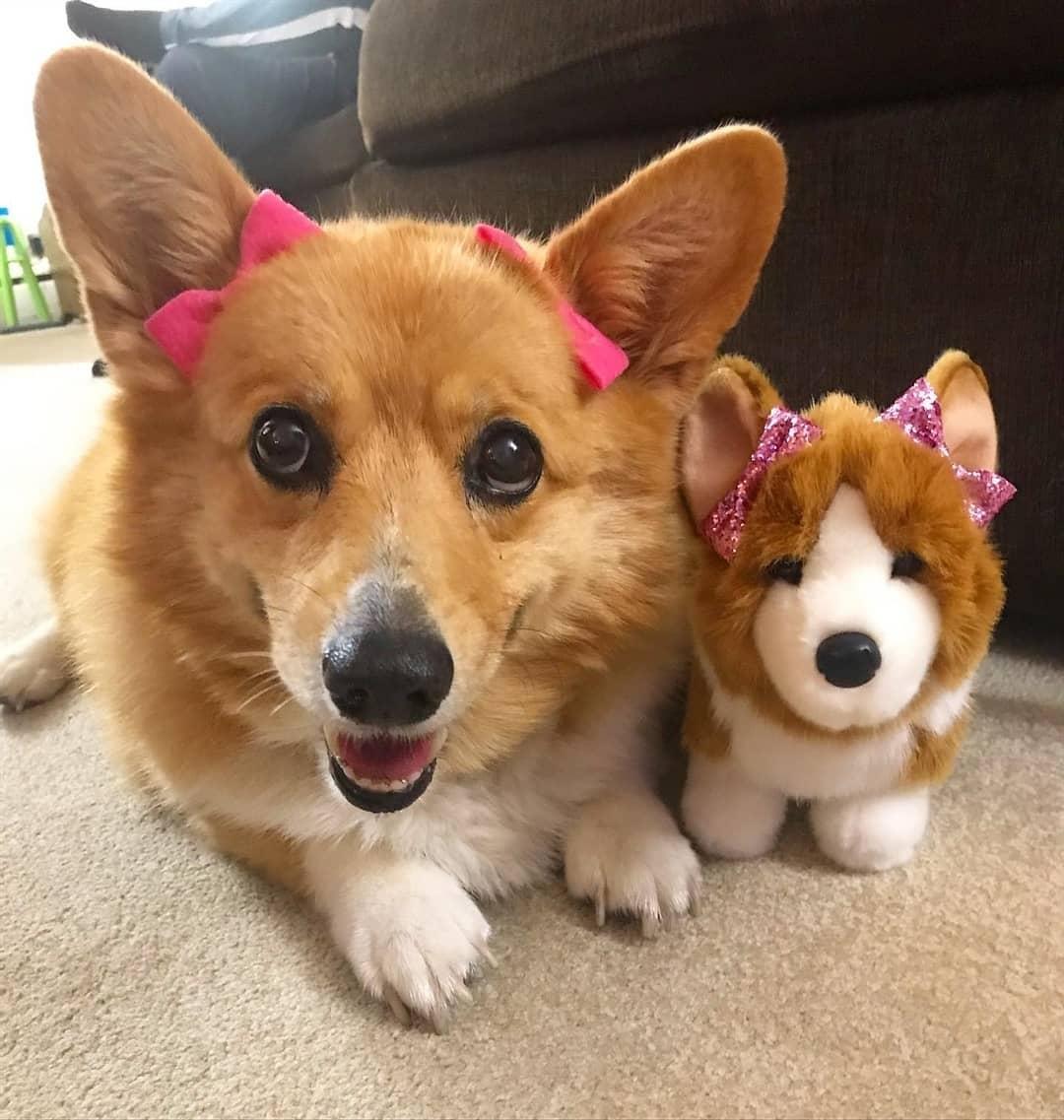 Giá chó Corgi sinh ra tại Việt Nam