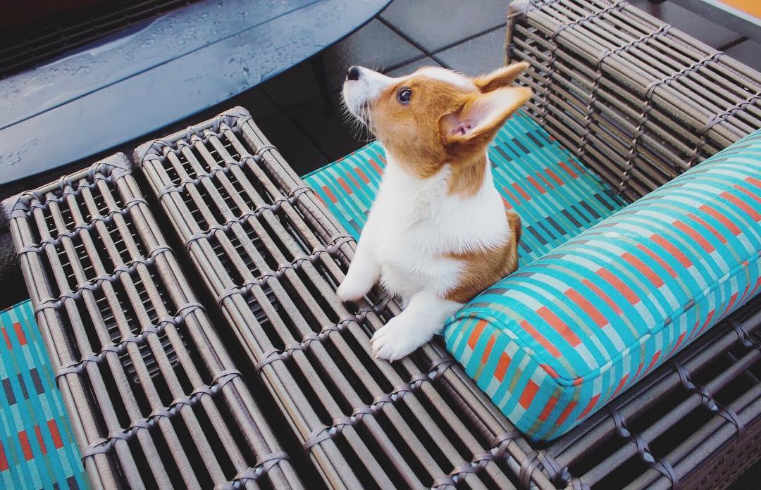 Chó Corgi sơ sinh thì nên bú trọn vẹn bằng sữa mẹ trong 1 tháng đầu
