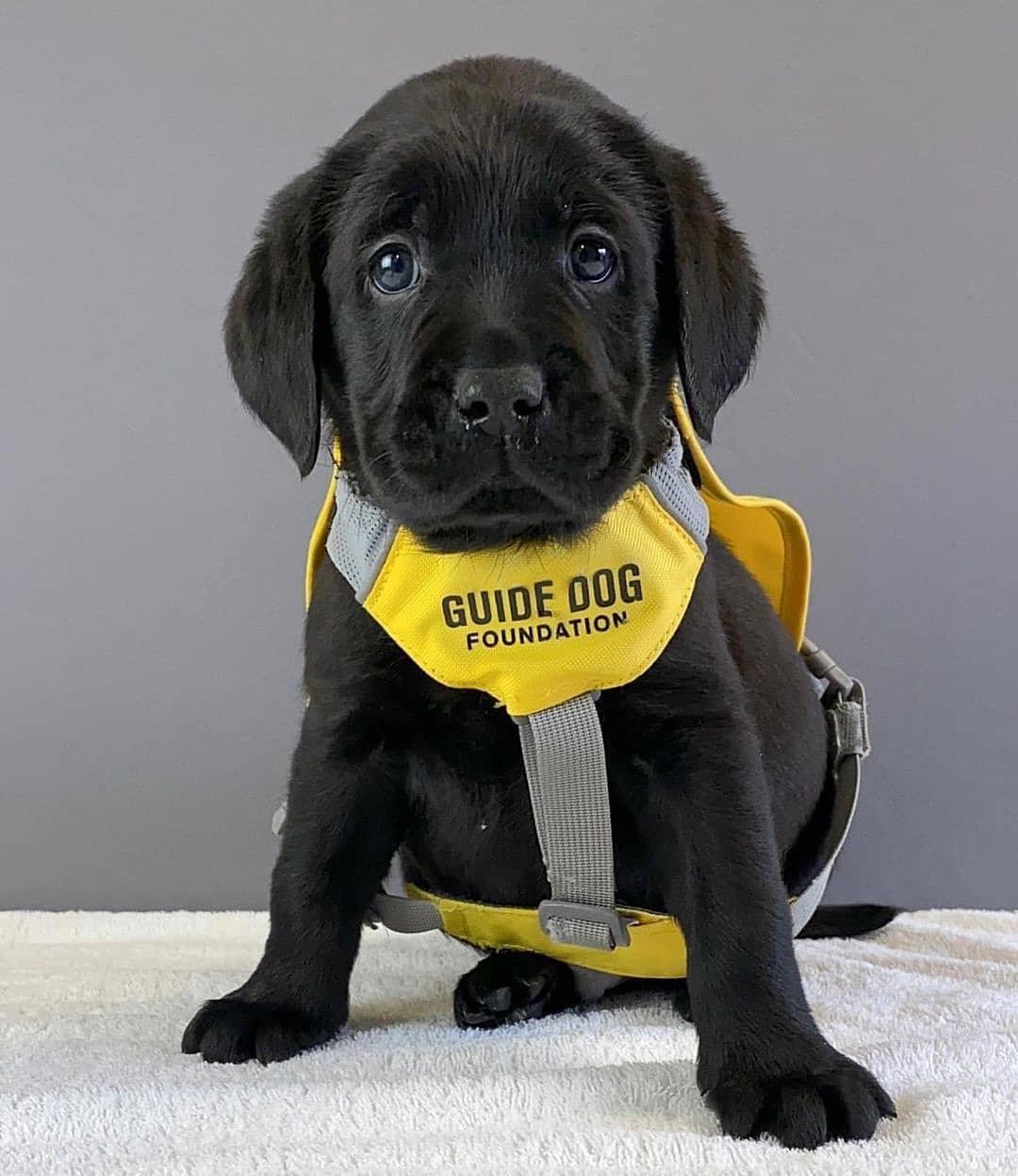 Chó Golden có đắt không