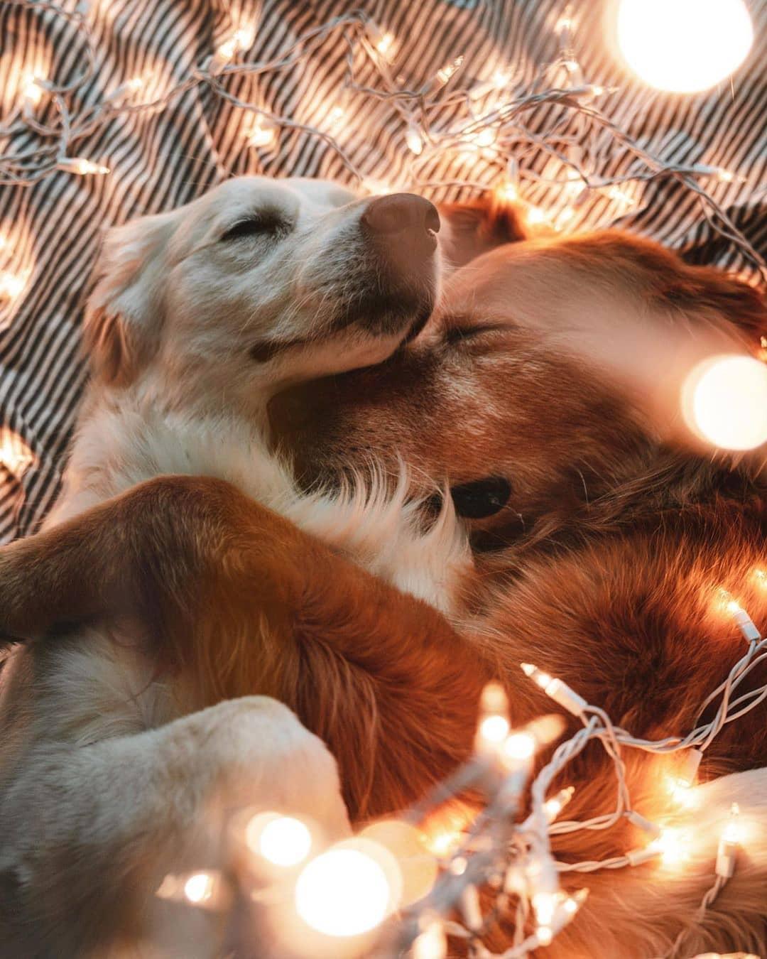 Chó Golden sống cực kì tình cảm