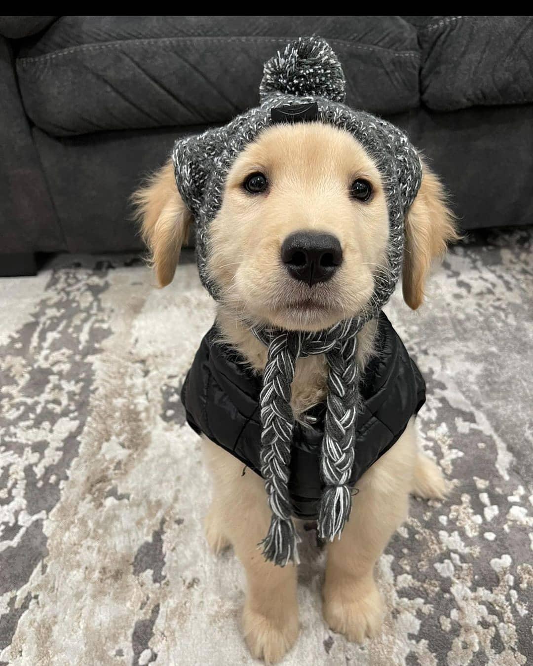 Các lưu ý khi nuôi chó Golden