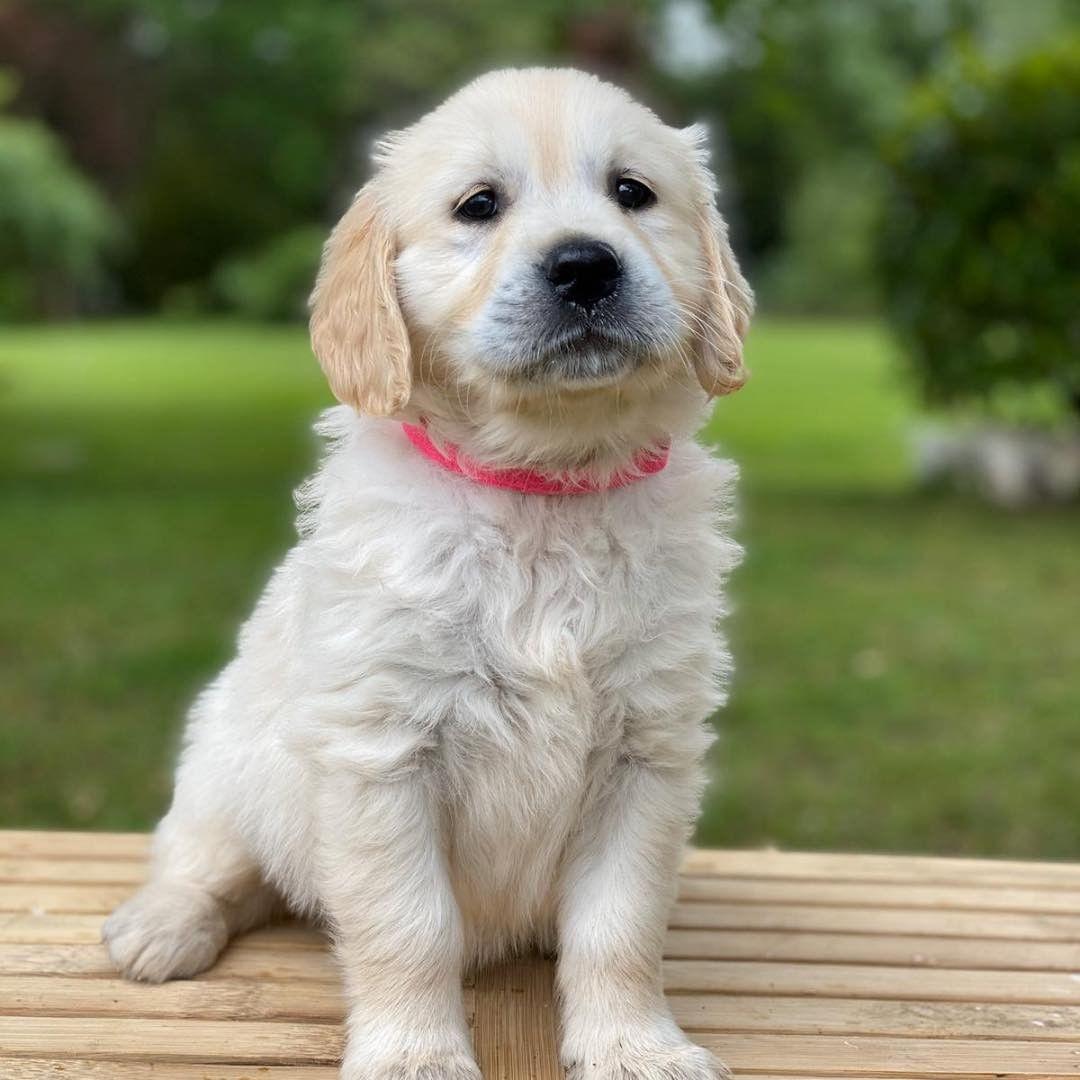 Dinh dưỡng cho Chó Golden rất dễ ăn