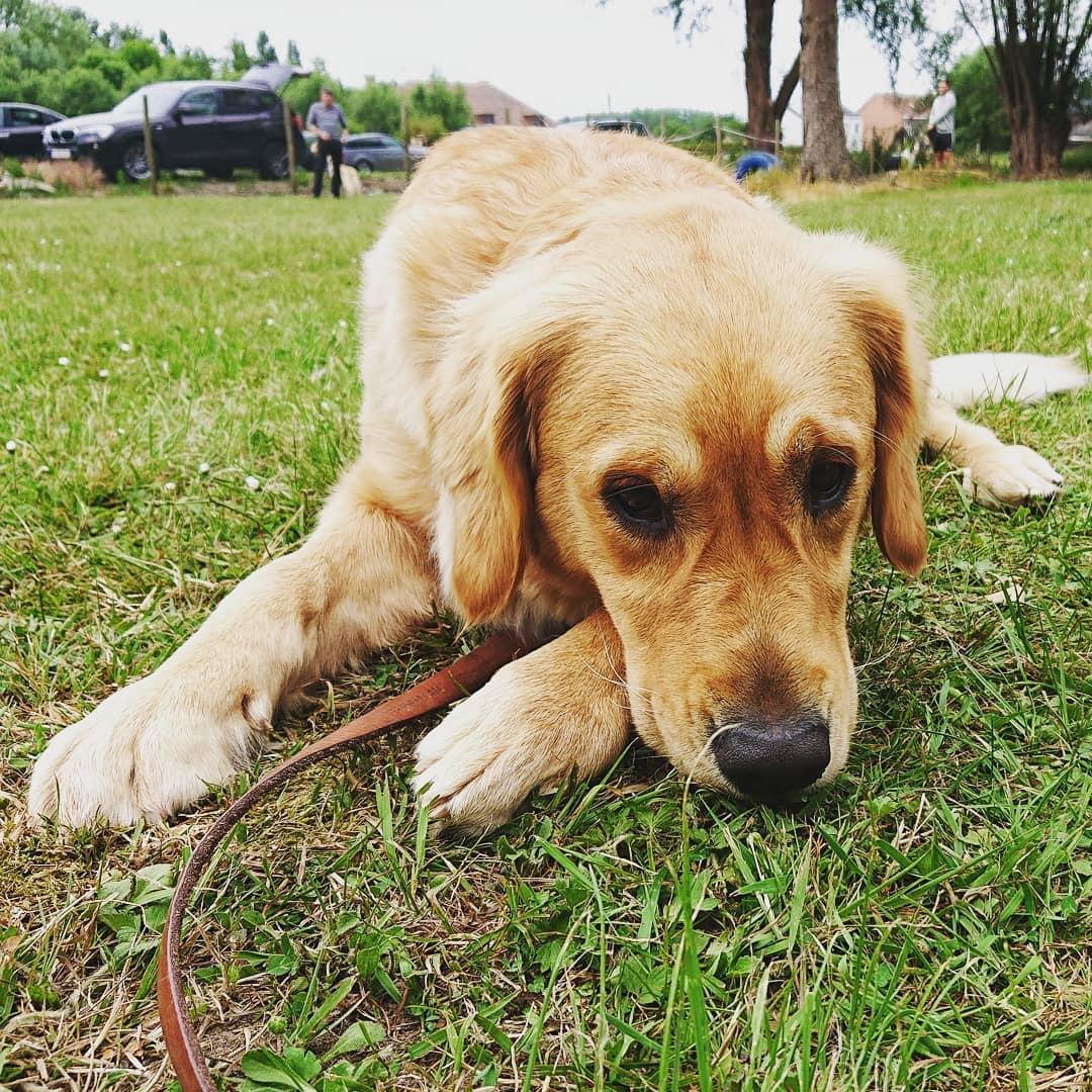 Chó Golden Retriever và Labrador Retriever