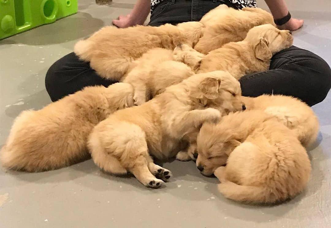 Giá chó Golden từ Đông Nam Á