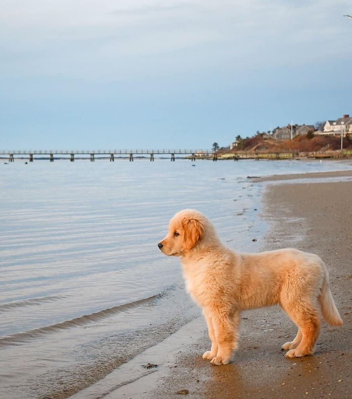 Chó Golden con có khỏe mạnh và tràn đầy năng lượng