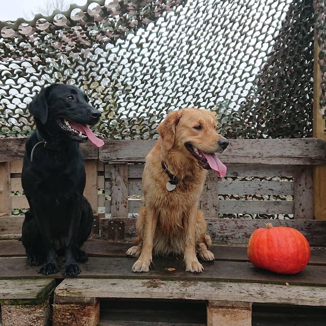 Chế độ bảo hành ảnh hưởng tới giá chó Golden