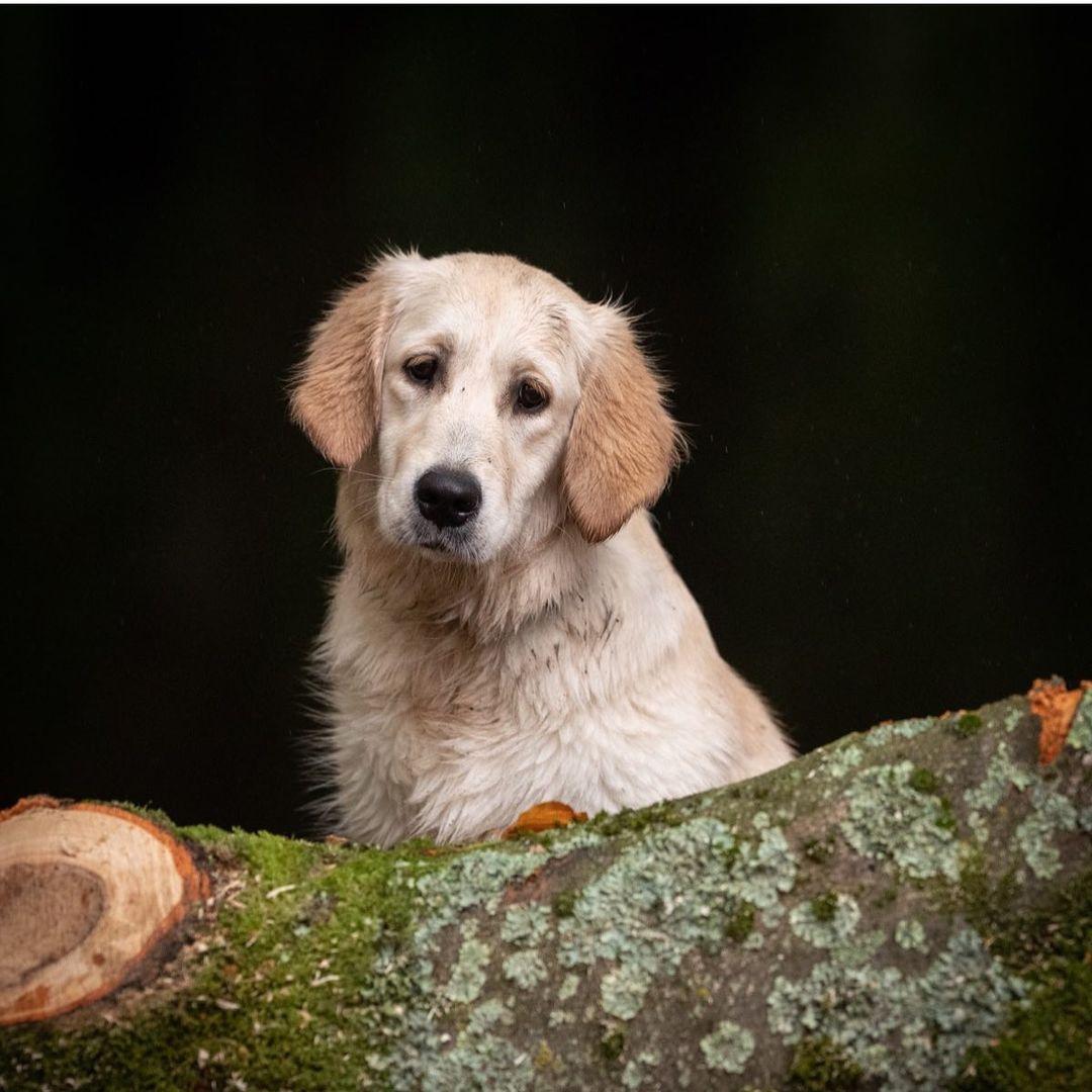Đừng nên mua chó Golden quá rẻ