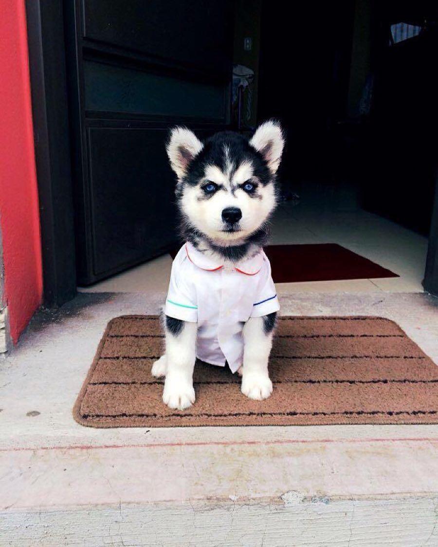 Lưu ý khi nuôi chó Husky
