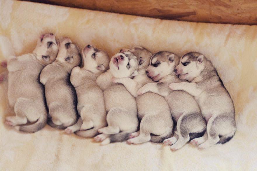 Chó Husky sinh sản và những vấn đề liên quan
