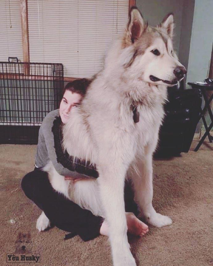 Giá chó Husky trên 50 triệu đồng