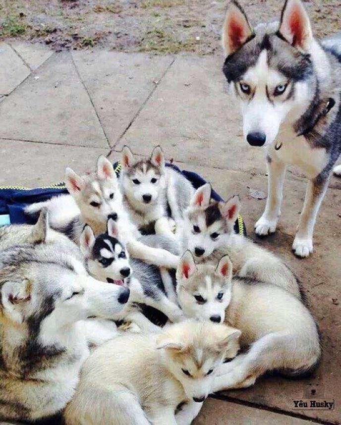 Chăm sóc lông cho chó Husky