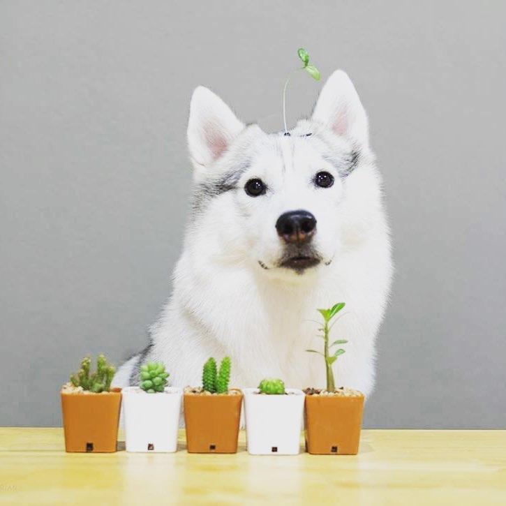 Lưu ý khi mua chó Husky