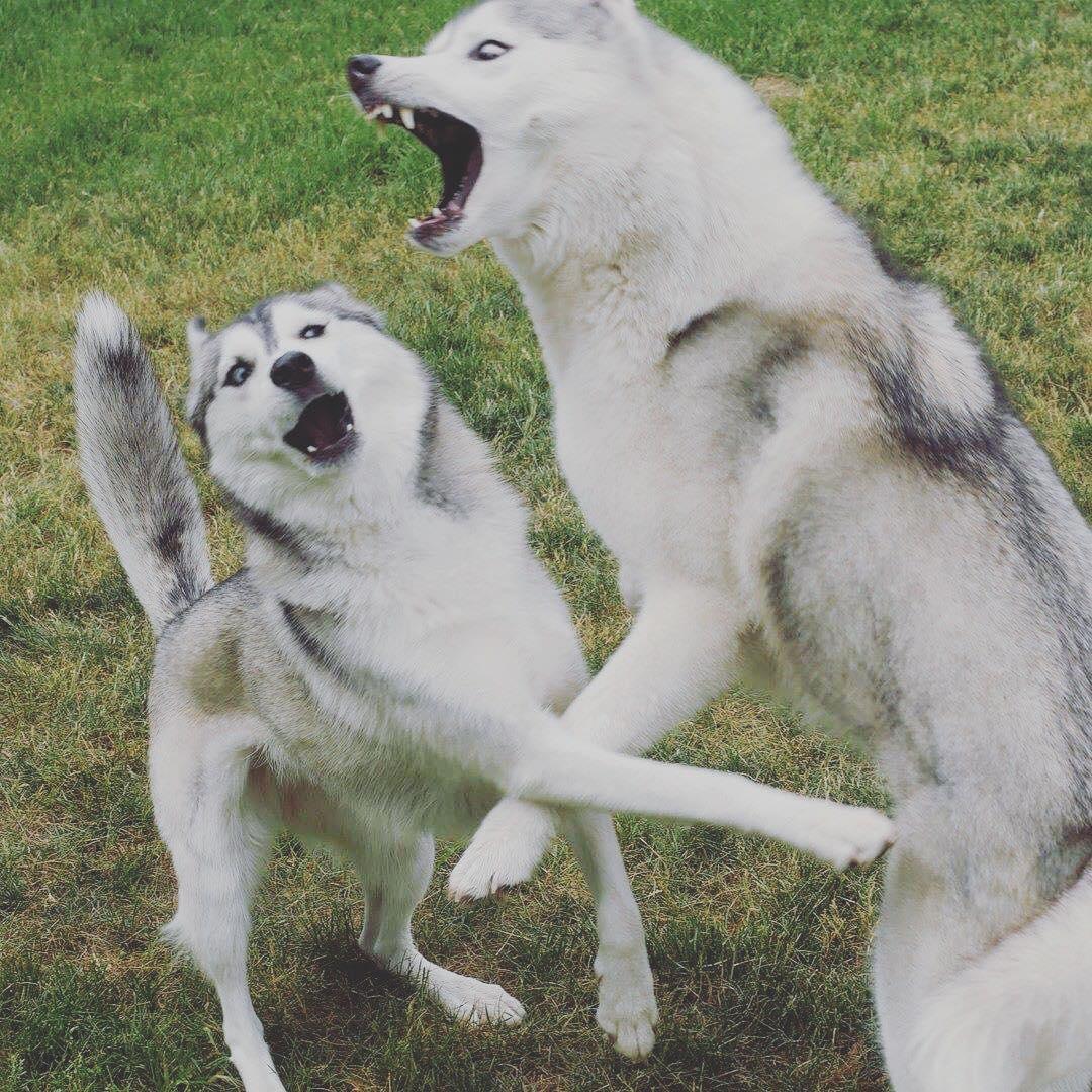Màu mũi chó Husky